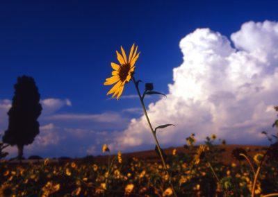 Casa Del Mulino Sunflowers
