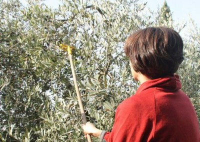 Sarah raking olives