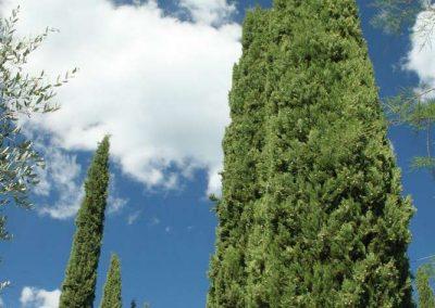 cypresses in garden