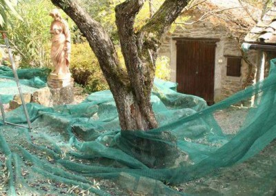 olive net under tree