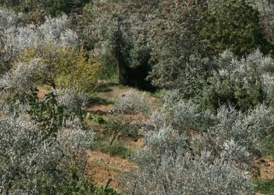 olive trees near house