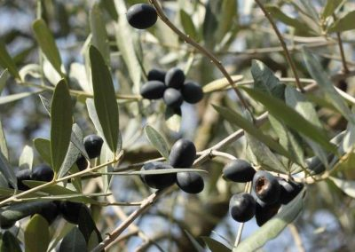 olives in the garden