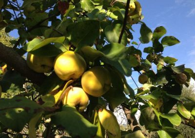 quinces in the garden
