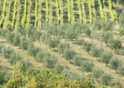 vinyards and olive groves